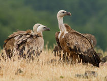 Griffin Vulture (Gyps fulvus) Stock Photography