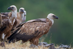 Griffin Vulture (Gyps fulvus) Stock Photo
