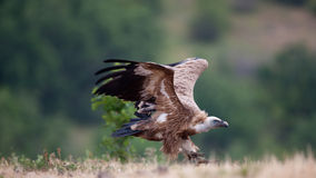Griffin Vulture (Gyps fulvus) Stock Images