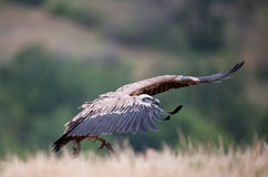 Griffin Vulture (Gyps fulvus) Royalty Free Stock Image
