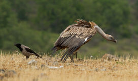Griffin Vulture (Gyps fulvus) Stock Photos