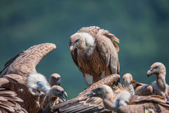 Griffin Vulture (Gyps fulvus) in der Reserve der wild lebenden Tiere in Bul Lizenzfreie Stockfotos