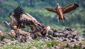 Griffin Vulture (Gyps fulvus) in Wildlife Reserve Madjarovo, Bul Royalty Free Stock Photo