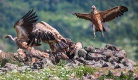 Griffin Vulture (Gypsfulvus) i djurlivreserven Madjarovo, Bul Royaltyfri Foto
