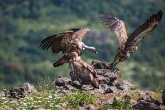 Griffin Vulture (Gypsfulvus) i djurlivreserven Madjarovo, Bul Royaltyfri Bild