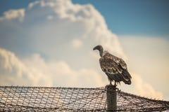 Griffin Vulture (Gypsfulvus) i djurlivreserven Madjarovo, Bul Arkivfoto
