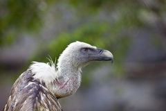Griffin Vulture with open wing Royalty Free Stock Photo