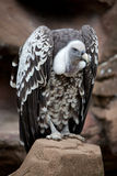 Griffin Vulture on Rock Stock Image
