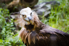 Griffin at the zoo Royalty Free Stock Photo