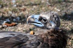 Griffon-γύπας στοκ φωτογραφία με δικαίωμα ελεύθερης χρήσης