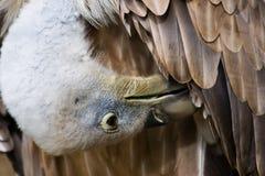 griffon делая хищника туалета Стоковое Фото