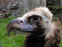 Griffon. Portrait of a vulture stock photography