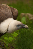 griffon γύπας Στοκ Φωτογραφία