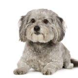 Griffon (8 jaar) Stock Foto