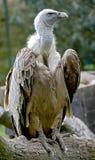 griffon 9 eurasian Стоковое Изображение RF
