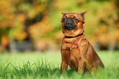 Griffon Brussels petit brabancon dog Royalty Free Stock Photo