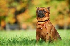 Griffon Brussels petit brabancon dog royalty free stock photo