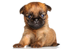 Griffon Bruxelles puppy on a white background Stock Photos