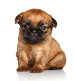 Griffon Bruxelles puppy on a white background Stock Photo