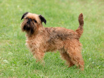 Griffon Bruxellois狗在春天庭院 免版税库存图片