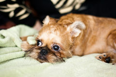 Griffon Bruxellois. Smooth haired Brussels Griffon puppy Stock Images