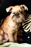 Griffon Bruxellois. Smooth haired Brussels Griffon puppy Royalty Free Stock Photography
