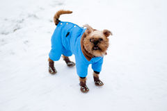 Griffon Bruxellois. Smooth haired Brussels Griffon puppy is walking in winter park on the snow Royalty Free Stock Photo