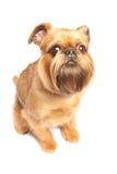 Griffon bruxellois Royalty Free Stock Image