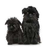 Griffon Bruxellois (3 months and 2 years) Stock Photos