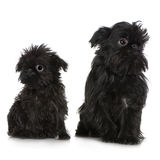 Griffon Bruxellois (3 months and 2 years). In front of A white background Royalty Free Stock Photos