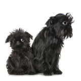 Griffon Bruxellois (3 months and 2 years). In front of A white background Stock Images