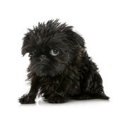 Griffon Bruxellois (3 months). In front of A white background Royalty Free Stock Photos