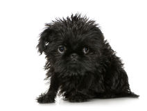 Griffon Bruxellois (3 months) Royalty Free Stock Images