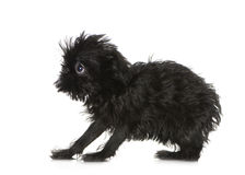 Griffon Bruxellois (3 months) Royalty Free Stock Photography