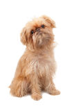 Griffon Bruxellois. Dog isolated over white. Breed - Griffon Bruxellois. Two years old Stock Image