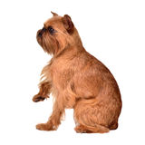 Griffon Bruxellois with paw up Royalty Free Stock Photo