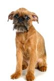 Griffon Bruxellois puppy on white Royalty Free Stock Photo