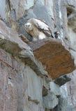 Griffon che si siede sulla roccia Fotografia Stock