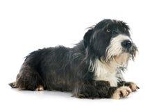 Griffon dachshund Stock Photography