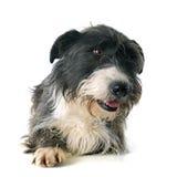 Griffon dachshund Stock Image