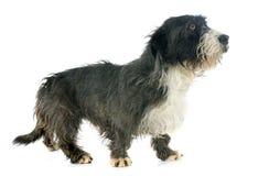 Griffon dachshund Stock Photos