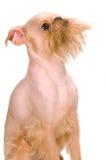 Griffon de Bruxelas Fotografia de Stock Royalty Free