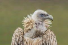 Griffon de l'Himalaya, vautour Image stock