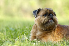 Griffon. Dog of breed griffon sun day Royalty Free Stock Photos