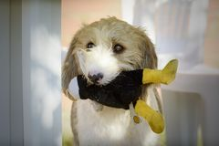 Griffon dog with its toy in its mouth royalty free stock photo