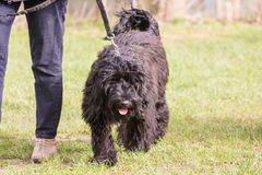 Griffon dog living in belgium. Portrait of griffon dog living in belgium and practicing or competing in the obeying section stock images