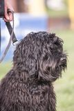Griffon dog living in belgium. Portrait of griffon dog living in belgium and practicing or competing in the obeying section stock photography