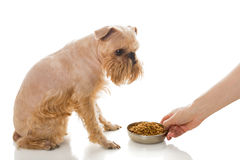 Griffon and dry food Royalty Free Stock Photos