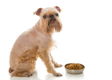 Griffon and dry food Stock Image