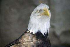 Griffon Eagle Lizenzfreie Stockfotografie
